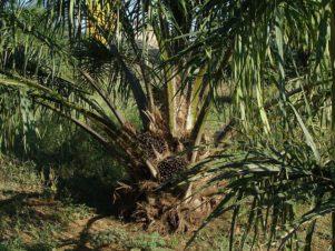 Palmöl Palme