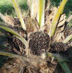 Palmöl Pflanze 149x151 - Ist Palmöl gesund? Oder doch Krebserregend?