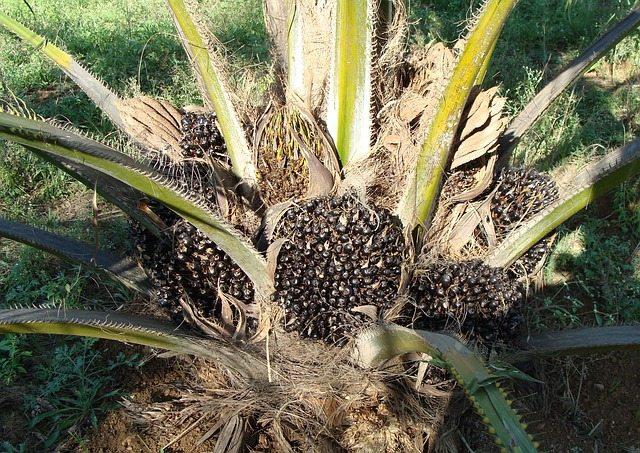 Palmöl Pflanze - Ist Palmöl gesund? Oder doch Krebserregend?