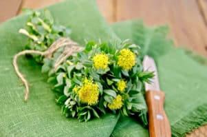Rhodiola Rosea als Pflanze