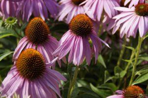 echinacea 413366 640 301x200 - Nasennebenhöhlen Entzündung - Was hilft wirklich? Die besten Tipps