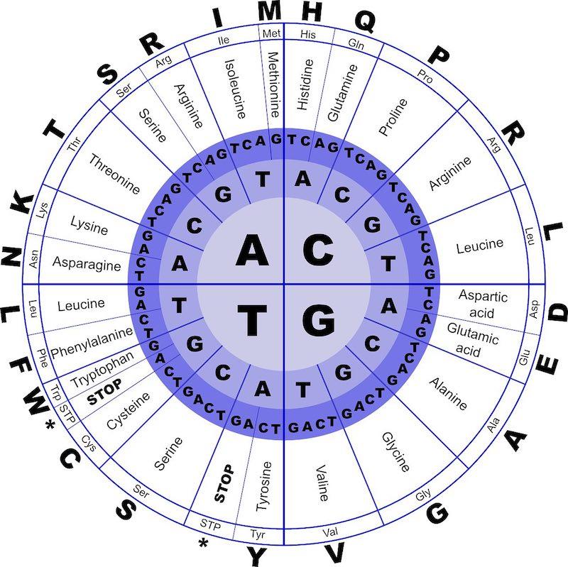 Wie wirken BCAAs im Organismus